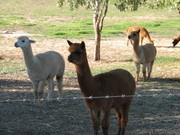 Rivermist_alpaca_females